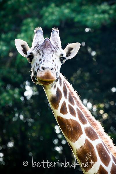 Giraffe - Wild Africa Trek at Disney's Animal Kingdom