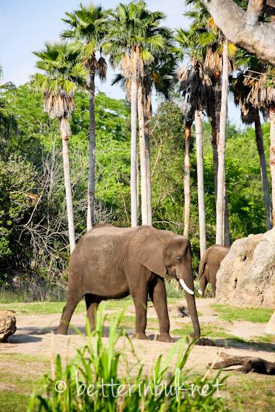 ELEPHANTS - Wild Africa Trek at Disney's Animal Kingdom