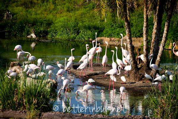 Flamingoes - Wild Africa Trek at Disney's Animal Kingdom