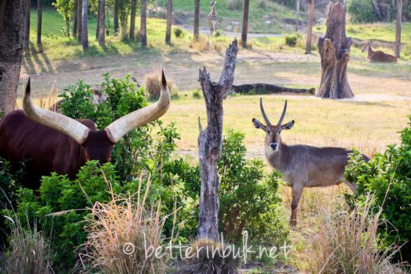 The Savannah - Wild Africa Trek at Disney's Animal Kingdom