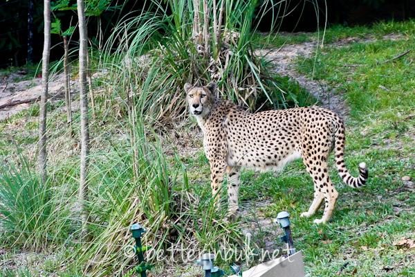 Cheetah - Wild Africa Trek at Disney's Animal Kingdom