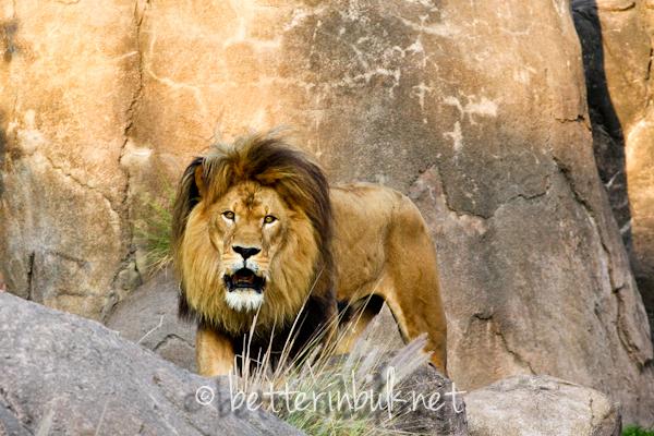 Lion - Wild Africa Trek at Disney's Animal Kingdom