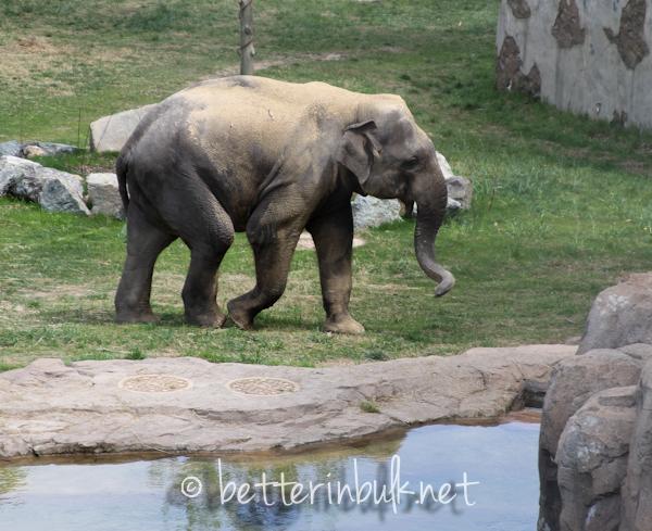National Zoo - elephant